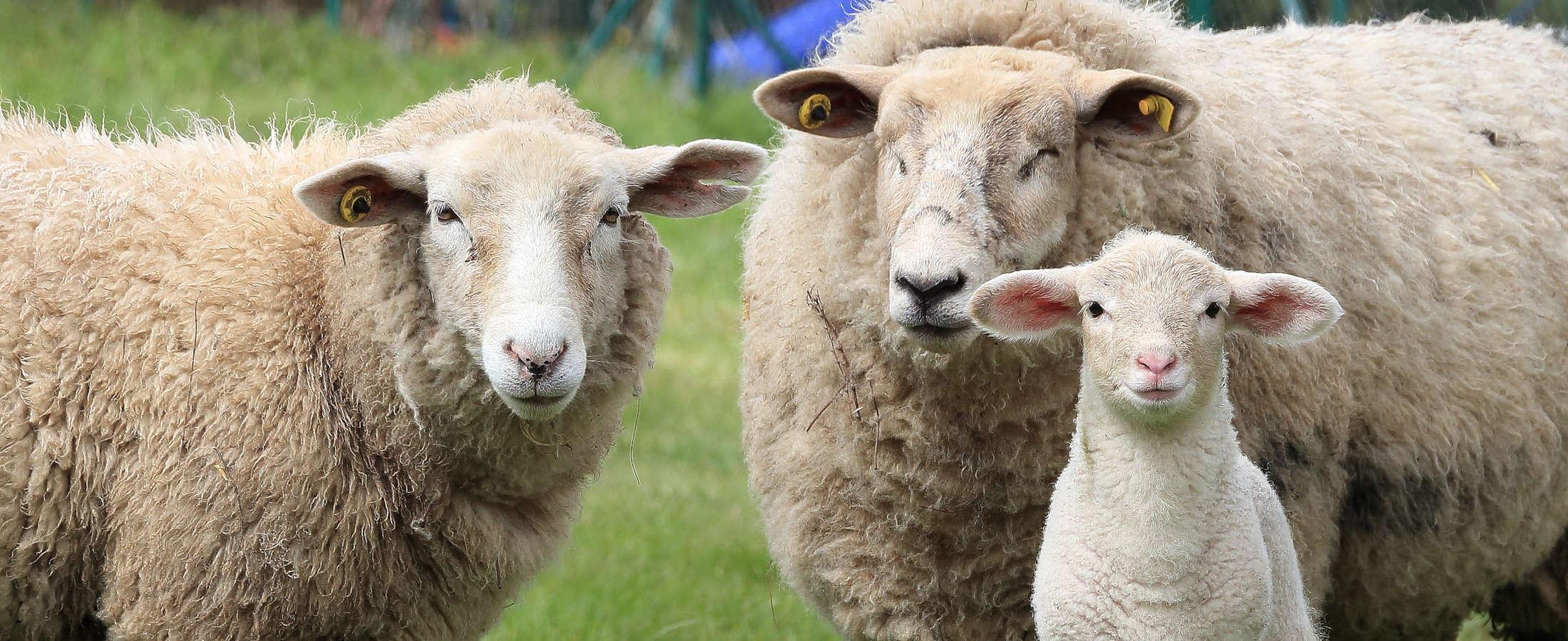 Pasza dla Owiec
