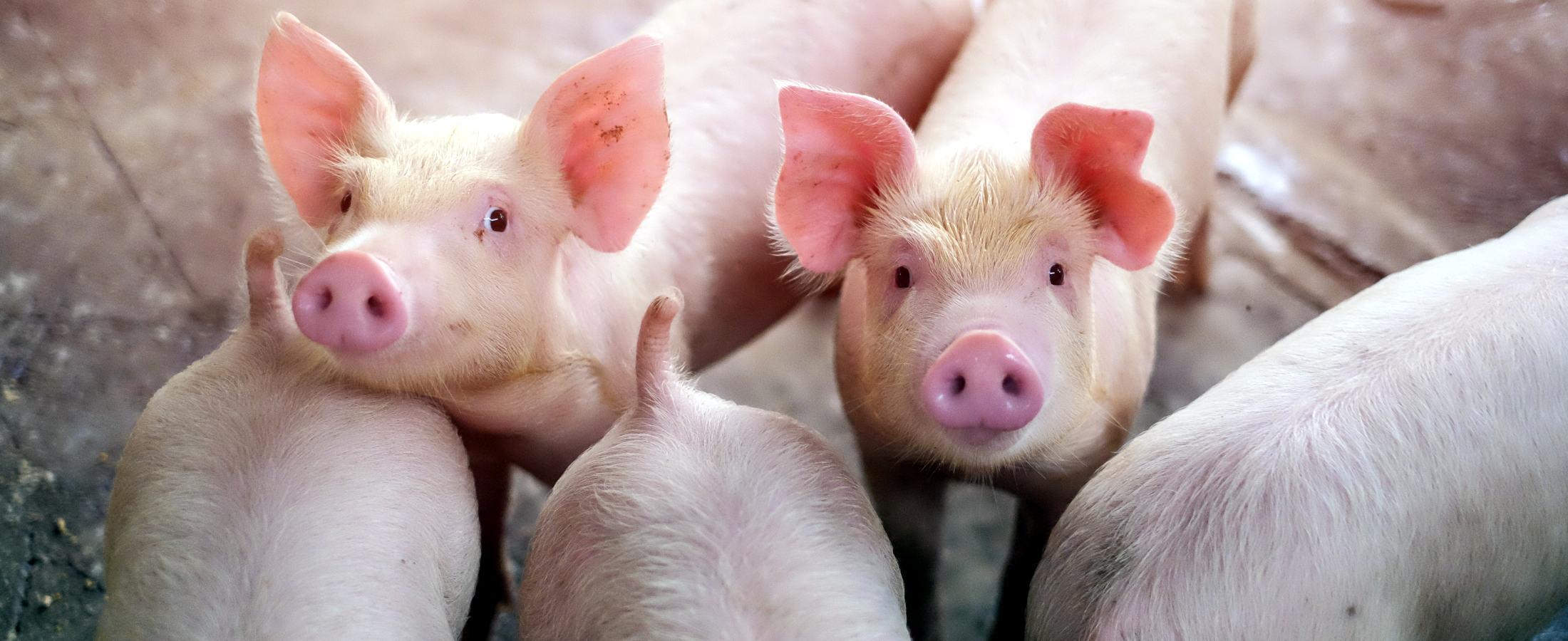 Pasza dla świń